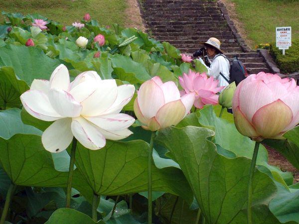 古代ハス園 | 観光地 | 【公式】熊本県観光サイト もっと、もーっと ...