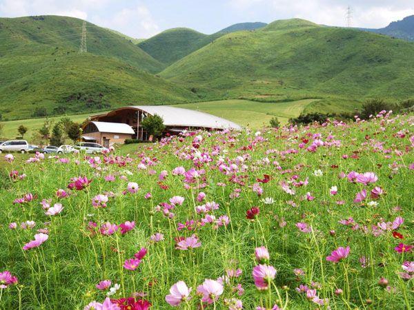 萌の里コスモス祭り   観光地   【公式】熊本県観光サイト もっと、も ...